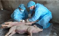 Sắp sản xuất được vắc xin dịch tả lợn châu Phi