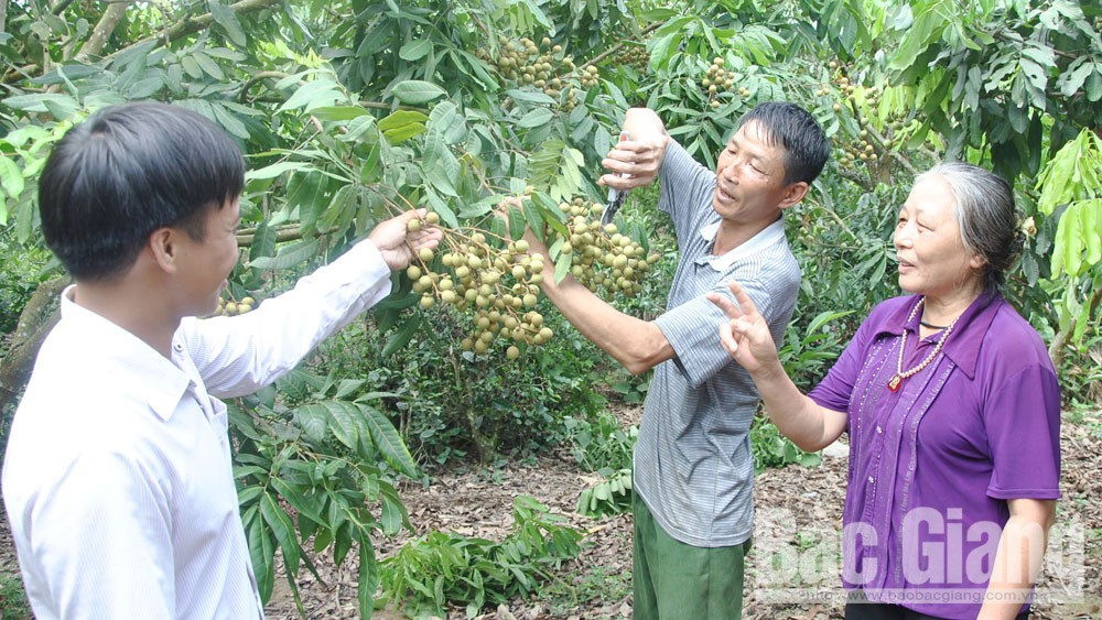 Longan, Bac Giang province, longan cultivation, bumper harvest, VietGAP procedure, product quality,  dried longan
