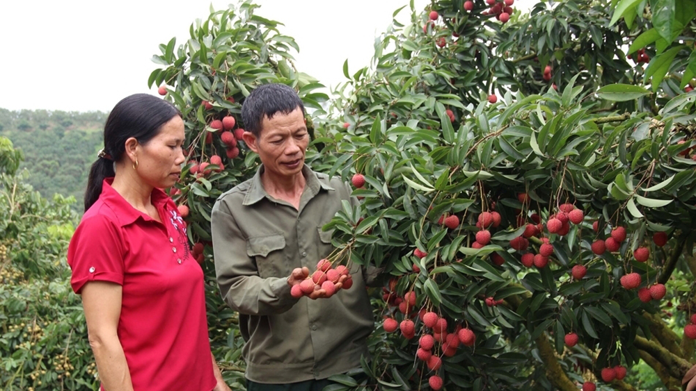 Bac Giang lychee, lychee revenue, all-time high, Bac Giang province, 2019 lychee harvest,  lychee cultivation hub, VietGAP and GlobalGap