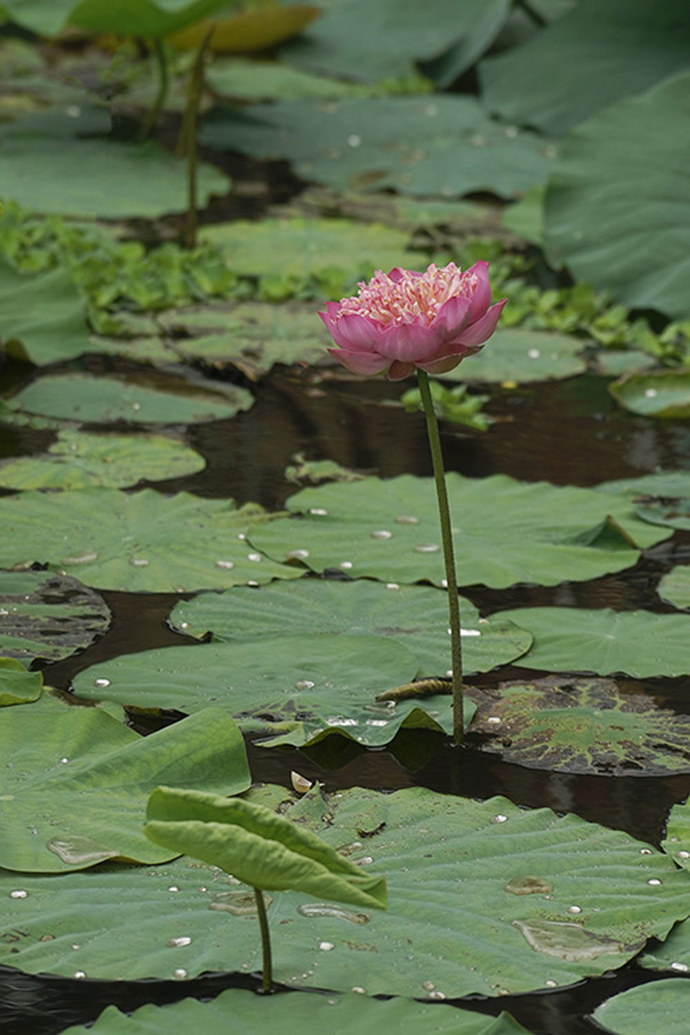 Vietnam, rare lotus species, wide variety of lotuses, scores of petals,  Thousand-petal lotuses, Moling lotus