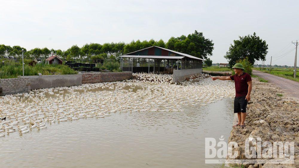 Một khu nuôi vịt của gia đình ông Tuấn.