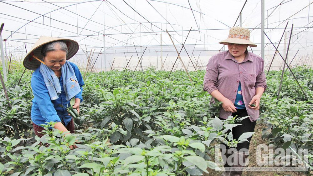 Bac Giang builds more than 90 hi-tech farming models