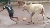 Chú bò giữ bóng chắc hơn cả siêu sao bóng đá