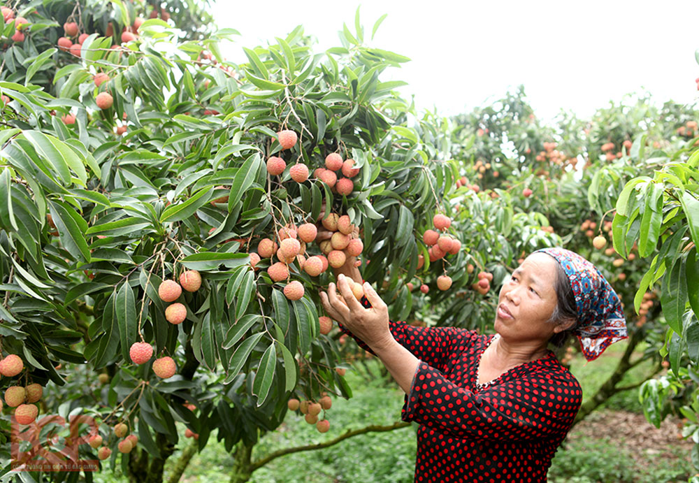 Bac Giang lychee, Bac  Giang province, record number, Bac Giang farmers, rare phenomenon, agricultural development plan, quality and value, VietGAP and GlobalGAP