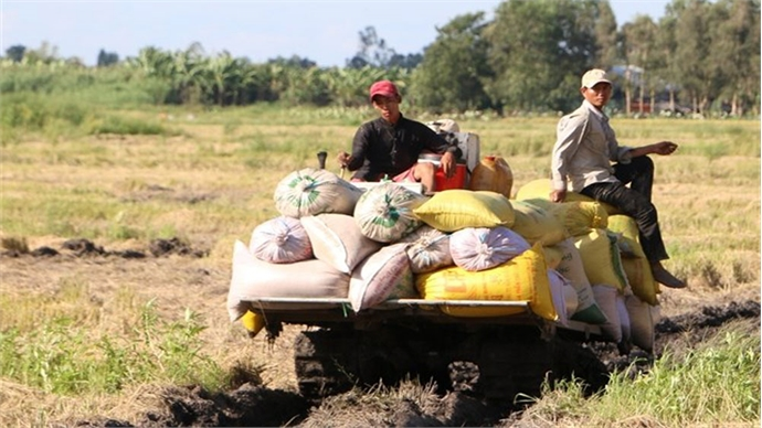Summer-autumn rice yield increases in southern region