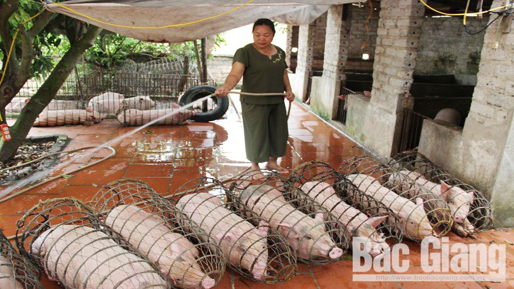 Bệnh dịch tả lợn châu phi, Bà Hoàng Thị Ngọc Ánh, Cấp phép sai số lượng lợn vận chuyển đi Lạng Sơn