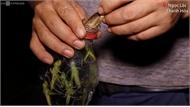 Soi đèn bắt châu chấu kiếm gần nửa triệu đồng mỗi đêm