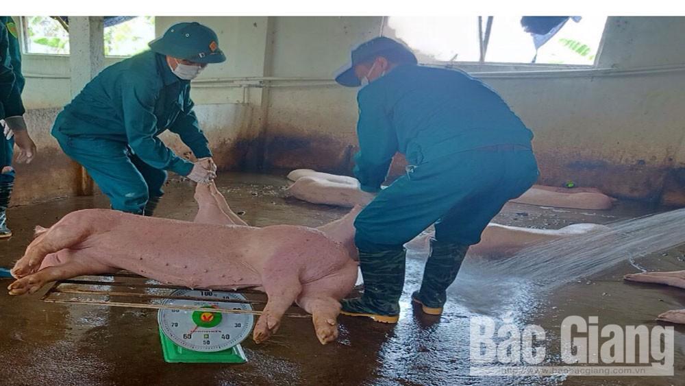 hỗ trợ, dịch tả lợn châu Phi, tiêu hủy lợn chết, Chủ tịch UBND tỉnh Bắc Giang