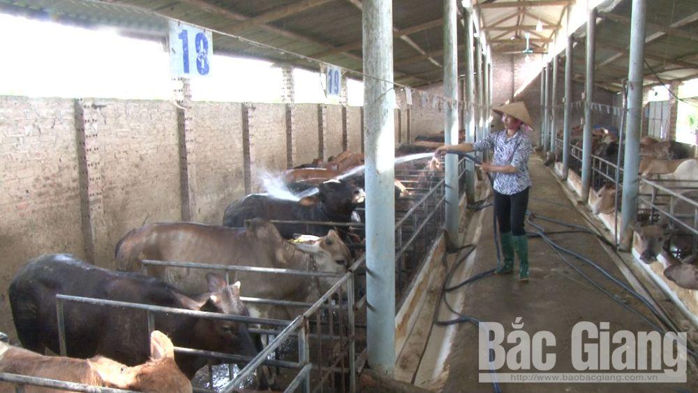 Làm giàu từ nuôi bò thịt khép kín