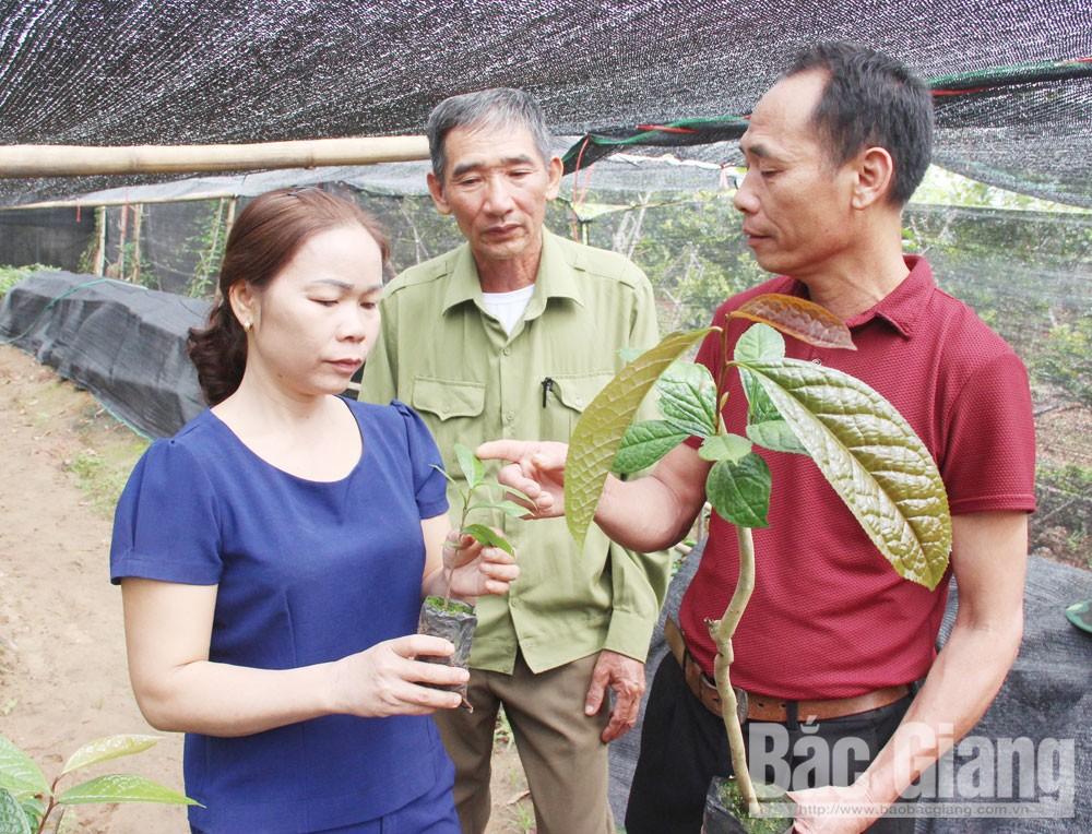 Bắc Giang, Nghiên cứu, bảo tồn, trà hoa vàng, dược liệu quý