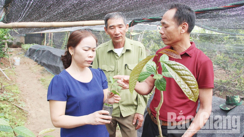 Researching conservation of golden camellia in Bac Giang