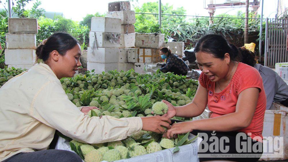 na Huyền Sơn, quả na, mùa na, Bắc Giang, thu hoạch na