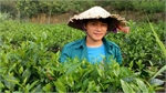 A young man loves his job of growing tea