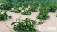 Hàng trăm ha cây trồng bị ngập do mưa lớn