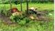 Nghệ An: Sét đánh chết đàn bò 11 con