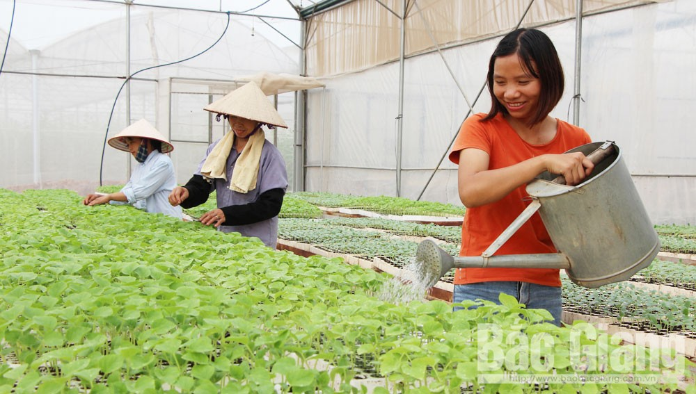Bac Giang restructures agricultural production to ensure growth