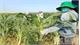 Phòng, chống sâu keo mùa thu: Kiểm soát đồng ruộng, chuyển đổi cơ cấu giống