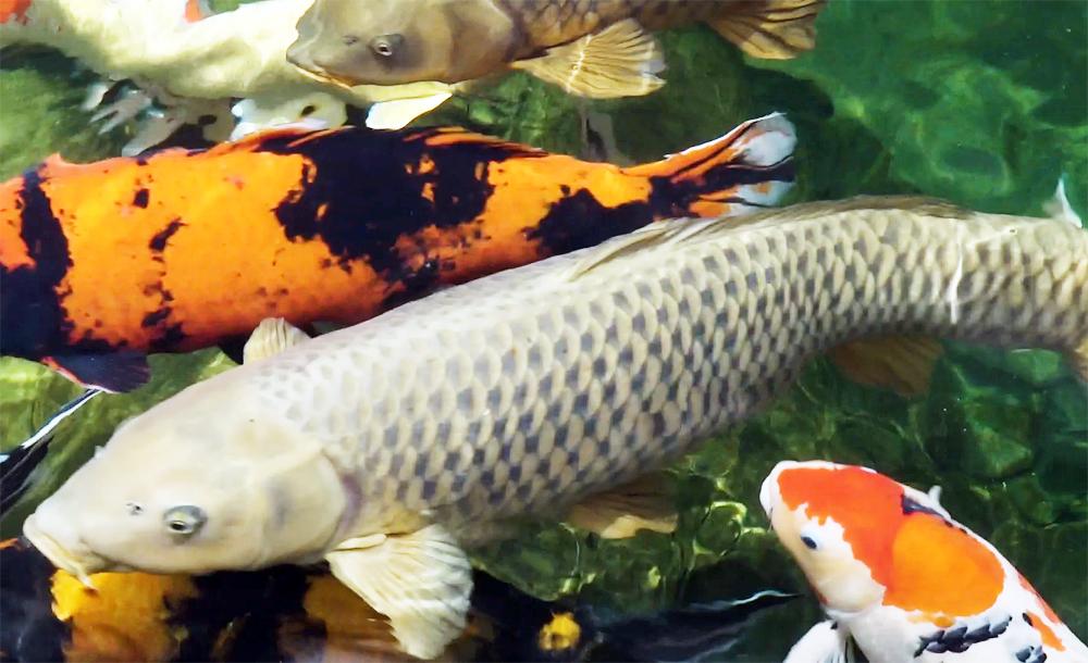 Đàn cá Koi nhiều con dài hơn 1,2 mét trong công viên ở TP Hồ Chí Minh
