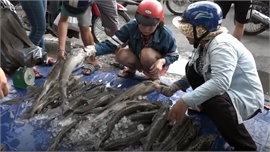 Đổ xô mua cá tầm giá rẻ trên vỉa hè