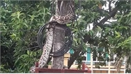 """Trăn """"khủng"""" vắt vẻo trên cột điện ở Phú Thọ đã bị người dân làm thịt"""