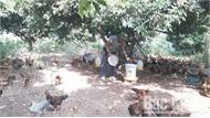 Bắc Giang: Nhiều ngân hàng thương mại cơ cấu lại nợ, hỗ trợ người chăn nuôi
