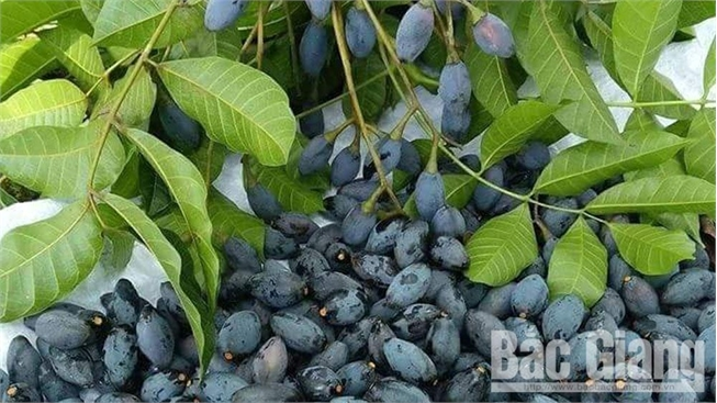 Xã Hoàng Vân (Hiệp Hòa) thu khoảng 6 tỷ đồng từ trám đen