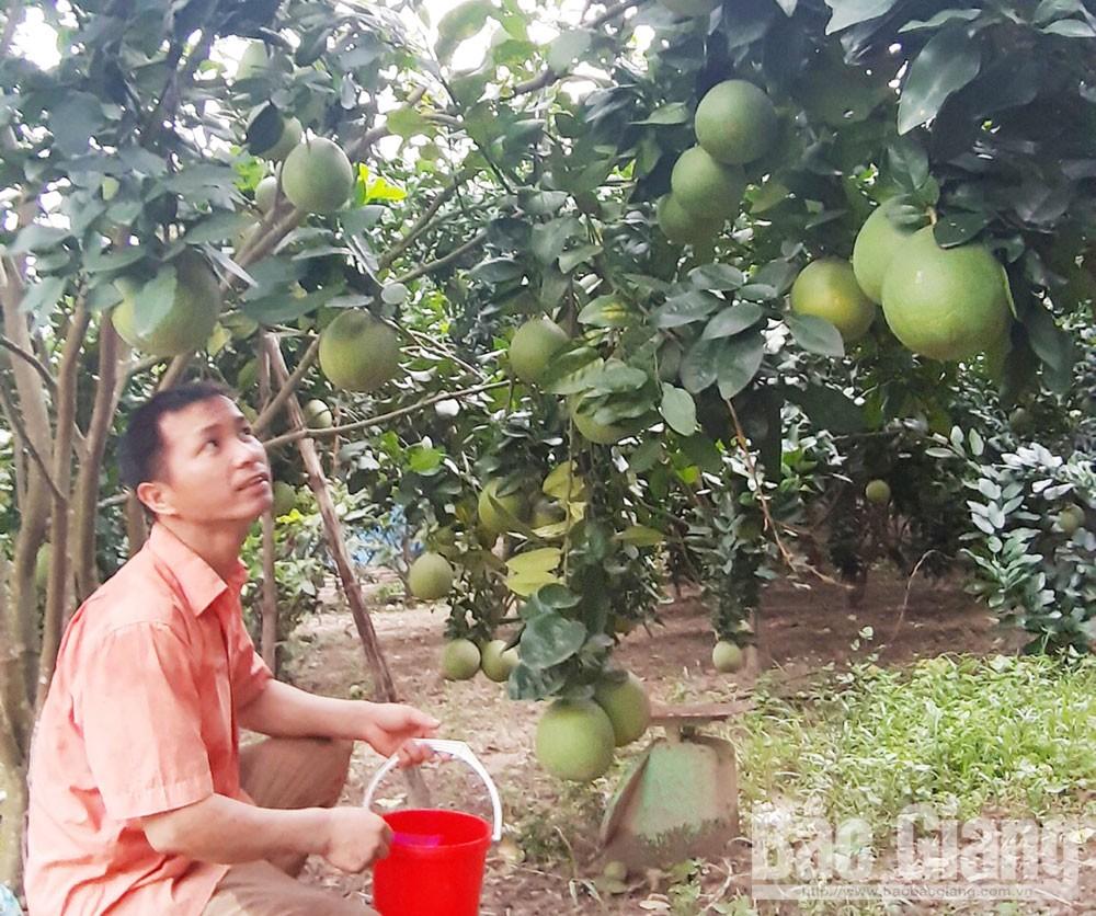 Ông Nguyễn Văn Khương, thôn Danh Thượng 3, xã Danh Thắng (Hiệp Hòa) sử dụng chế phẩm chống ruồi vàng tại vườn bưởi của gia đình.