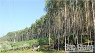 Chế biến, xuất khẩu gỗ rừng trồng: Mạnh ai nấy làm