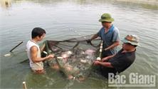 Sản xuất thủy sản ở Bắc Giang: Sản lượng tăng, đầu ra thuận lợi