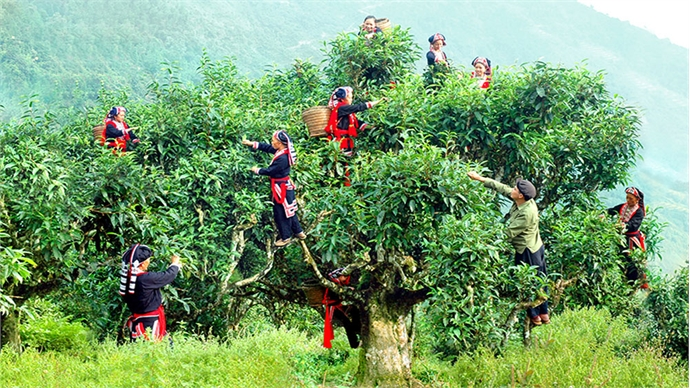 Ha Giang tea tree remains productive after 500 years
