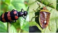 Chuyên gia cảnh báo nguy cơ ngộ độc nặng do bọ cánh cứng