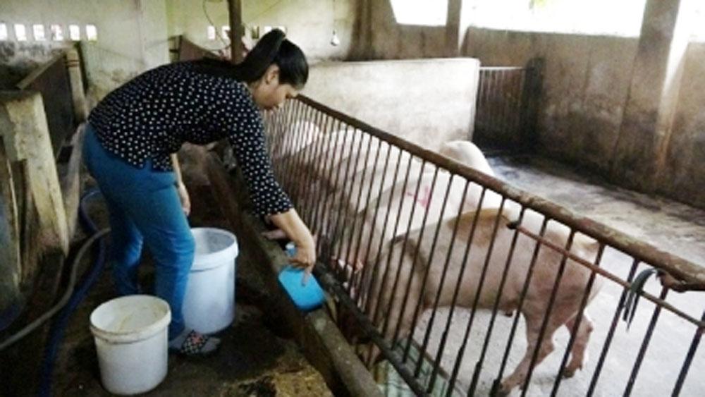 Thông tin về đàn lợn tự hết nhiễm dịch tả lợn châu Phi
