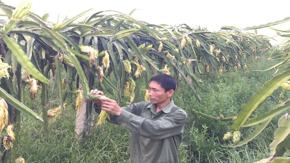 Bac Giang province, off-season fruit, dragon fruit, red-heart dragon fruit, big profits, Nguyen Van Huy