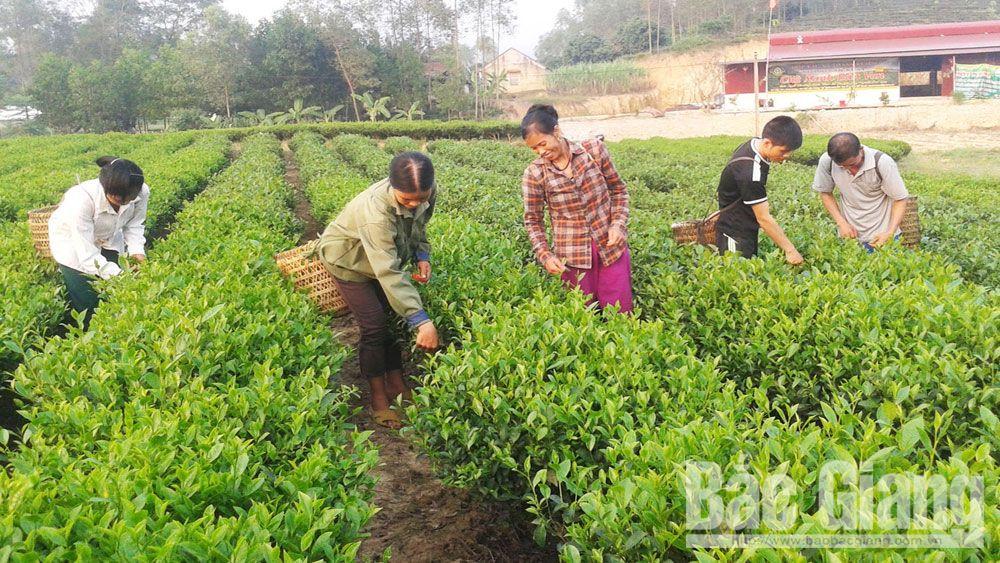 Mô hình trồng chè hữu cơ tại xã Xuân Lương (Yên Thế).