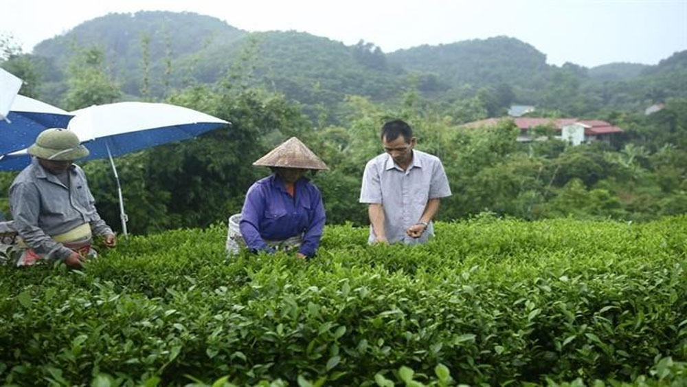 effective loans, Thai Nguyen province, poverty escape, spacious house, tea and venison farm, household business, more valuable tea trees