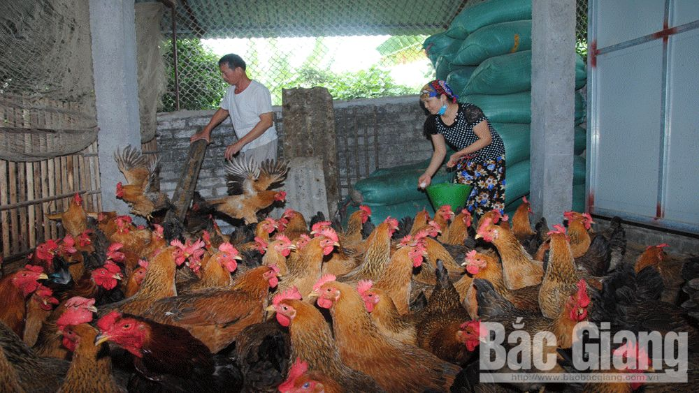Yen The hill chicken, Vietnam golden agriculture brand, Bac Giang province,  farming brands, good quality, typical enterprises, product consumption