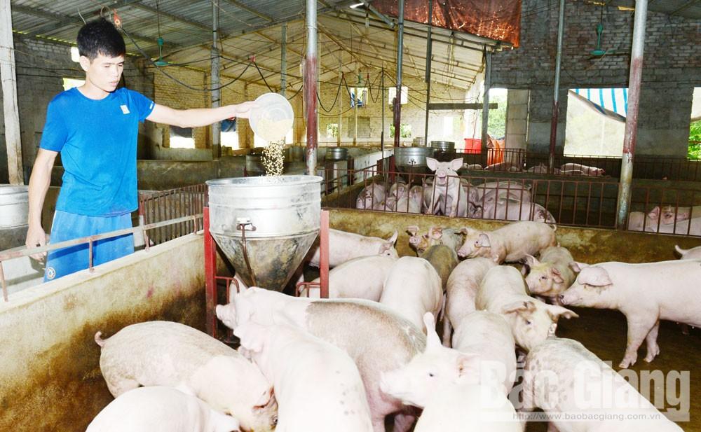 Bắc Giang, dịch tả lợn châu Phi,  lợn chết, dịch bệnh, chăn nuôi lợn, phương thức, thói quen chăn nuôi