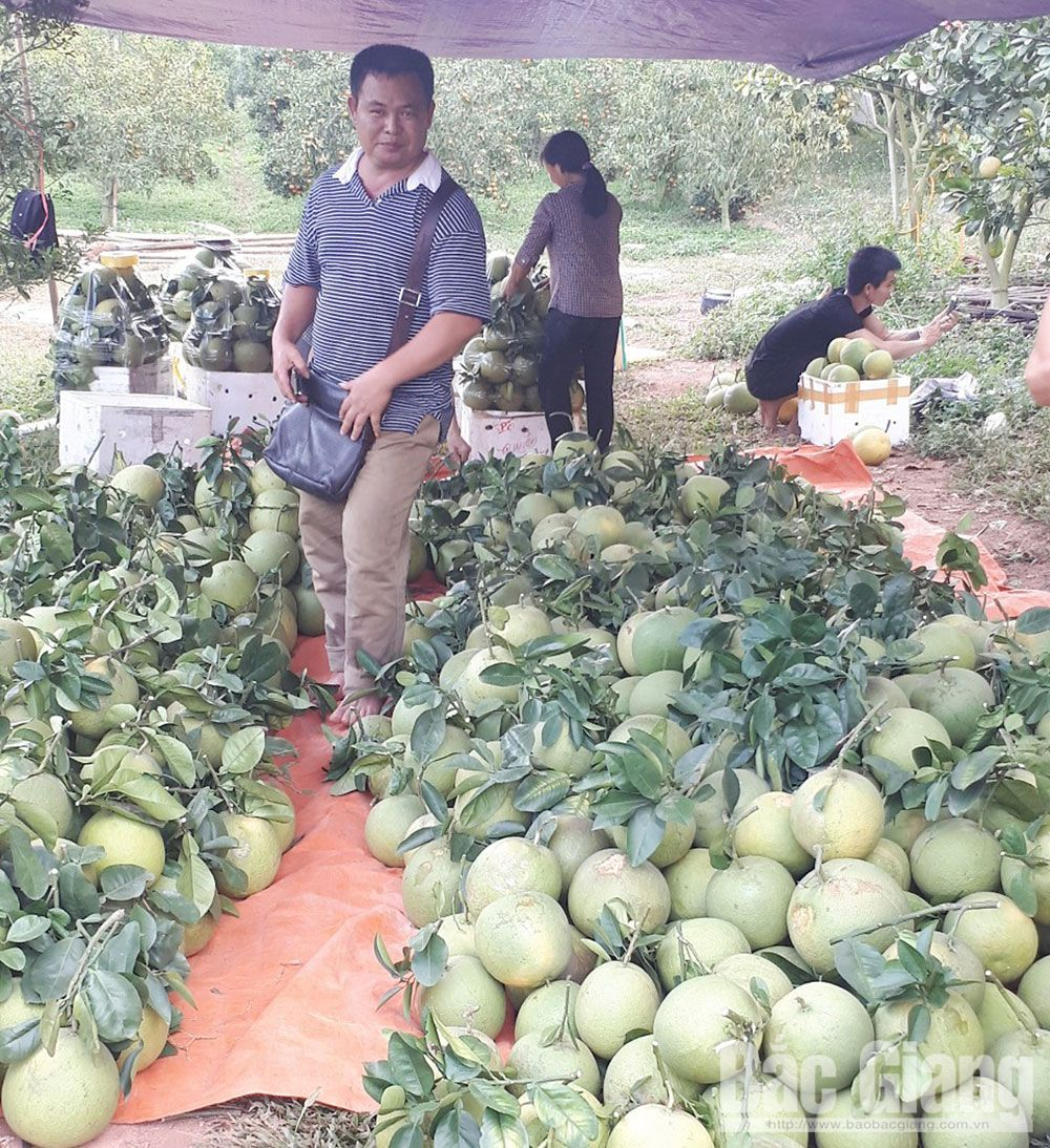Luc Ngan district, intensive citrus cultivation, export market, Bac Giang province, VietGAP procedure, organic fertilizers, bumper fruit trees, geological identification