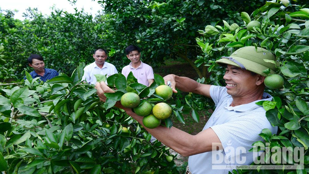 Luc Ngan focuses on intensive citrus cultivation toward export