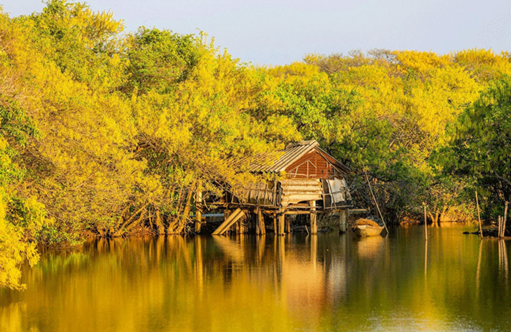 Autumn yellows, Ru Cha mangrove forest, photography enthusiasts, five-hectare wonder, primeval mangrove forest