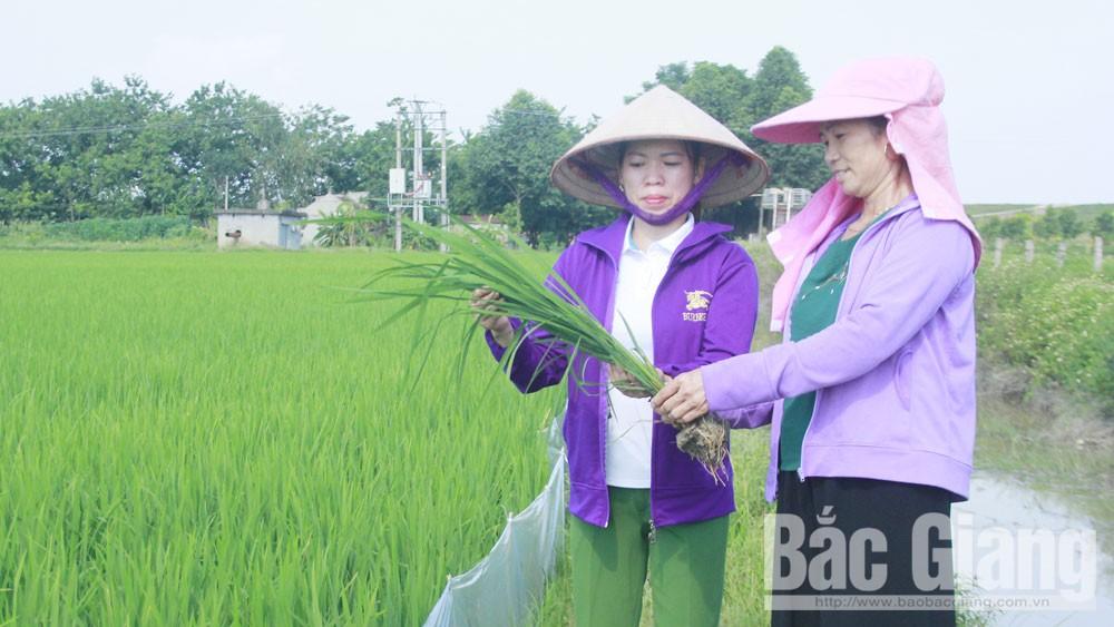 Hiệp Hòa, Bắc Giang, phụ nữ, liên kết sản xuất lúa, phát triển kinh tế, thôn Xuân Thành, xã Châu Minh