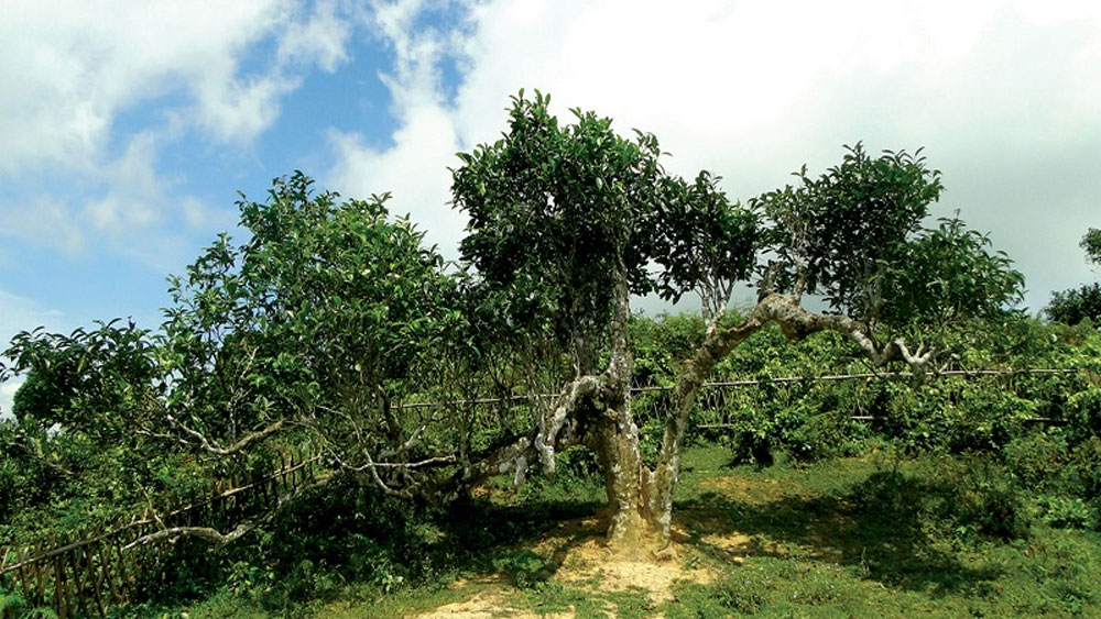 Ancient tea tree in Yen Bai honoured