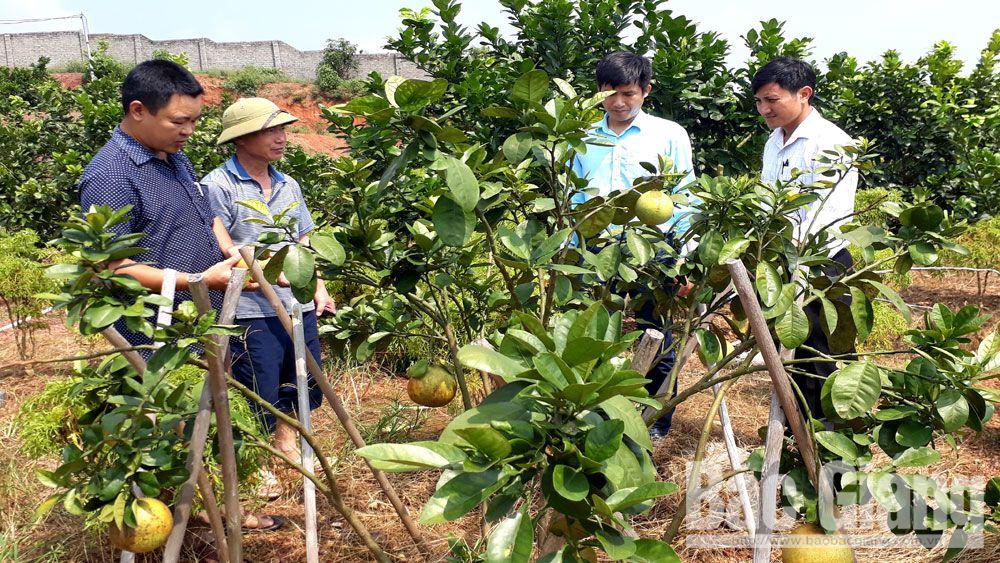 Những cây bưởi da xanh kém hiệu quả của hộ ông Nguyễn Văn Quý, xã Đồng Lạc (Yên Thế).