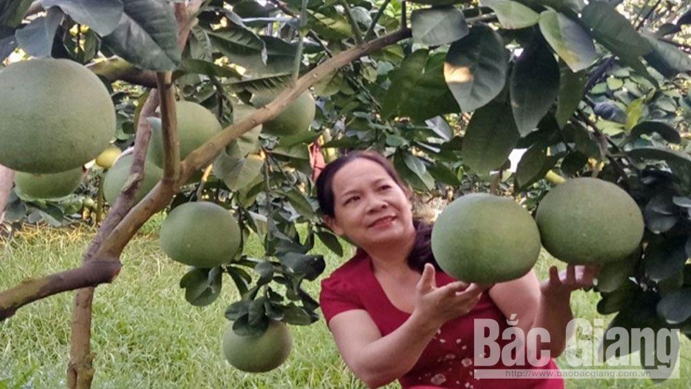 Vườn bưởi da xanh của gia đình chị Lại Thị Tâm, xã Trù Hựu (Lục Ngạn) được chăm sóc đúng kỹ thuật.