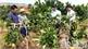 Chỉ trồng bưởi da xanh  ở vùng thâm canh cao