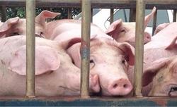 Hàn Quốc nỗ lực ngăn chặn dịch tả lợn châu Phi lây lan