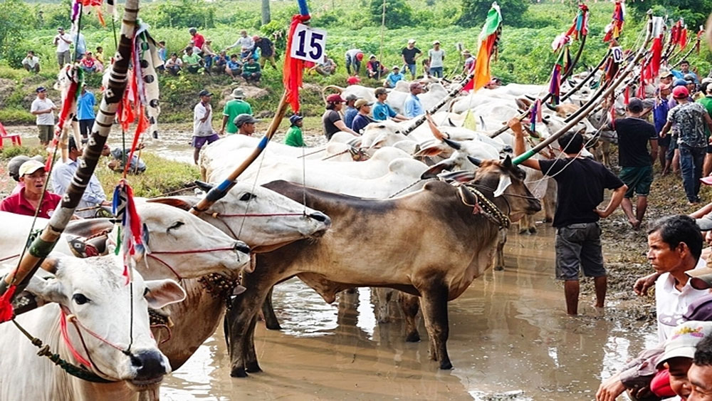 Running with the oxen, a Khmer tradition