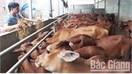Chăn nuôi dịp cuối năm: Thận trọng tái đàn lợn, tăng quy mô gia cầm