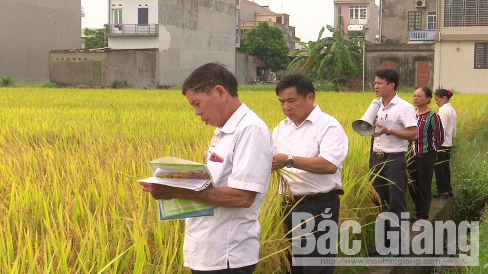 Yên Dũng, hội thảo, đầu bờ, lúa thuần chất lượng cao