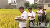 Yên Dũng: Khuyến khích mở rộng diện tích lúa HDT10 và HD11
